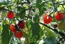 tuin - groente/kruie