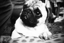 COCO - the pug