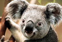 Koala / Koala (Phascolarctos cinereus), Avustralya'ya özgü otçul ve ağaçta yaşayan bir keseli memeli hayvan türüdür. Phascolarctidae familyasının yaşayan tek temsilcisidir ve en yakın akrabaları vombatlardır. Koala, Avustralya'nın doğu ve güney kıyıları boyunca Queensland, Yeni Güney Galler, Victoria ve Güney Avustralya'da bulunur. Kalın ve kuyruksuz gövdesi, yuvarlak ve tüylü kulakları ile büyük ve kaşık şeklinde burnu ile kolayca tanınır.