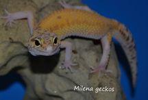 Gekončík - Leopard gecko / milena geckos