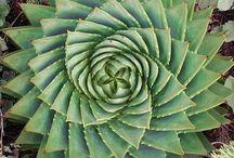 Garden - Hardy Succulents
