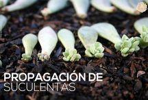 propagación de suculentas