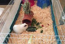 Guinea Pig Celebs