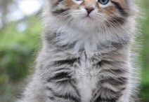 Chat sybérien