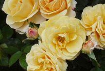 Meggy's Rose Garden (I beg your pardon)