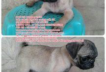 Jual Anjing Pug Jantan Warna Fawn