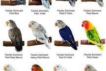"""jenis""""LOVE bird"""