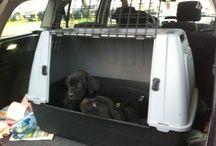 Pecs, Ungheria: il mercato dei cuccioli / Là dove nasce il traffico criminale dei cuccioli di cane