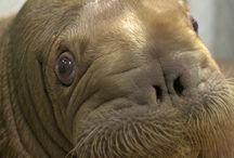 I Love Mitik the Walrus and Water Bears / Cute Fat Animal Overload :) / by Susie Wyshak