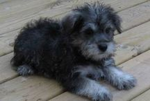 schnoodle love