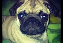 leopold / Photos of my pug named Leopold