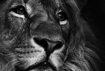 Lions and related stuff