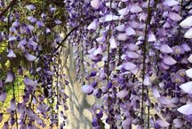 Flowers / Hanging from Rome's walls, at the market, covering trees, on the roadside...
