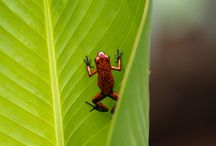 Costa Rica Wildlife / Costa Rica is home to a variety of plants and animals. While the country has only about 0.25% of the world's landmass, it contains 5% of the world's biodiversity.