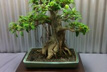 Árvores bonsai