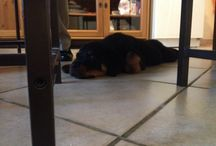 Thor / Il mio Rottweiler