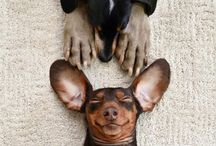 Dackel Goodness / A Collection of cute and funny dachshund photos and art