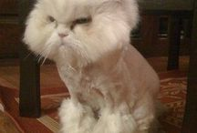 funny animals cats with lion haircut
