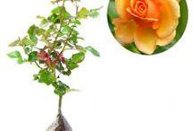 Mawar / Semua tanaman dalam board ini bisa dikirim keseluruh Indonesia, silahkan order ya, tel: 0341-599399 I SMS center: 08569020300 atau kunjungi website kami www.kebunbibit.id