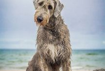Scottish deerhounds