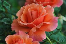 Peach Roses in Americas / And these pins also in the Peach Roses and Americas pages on my gardening blog? #CMGardeningAmericas #CMGardening