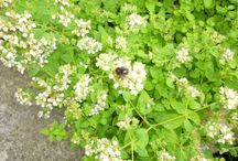 Bees being Busy / the bees that visit my garden and precious so I honour them here