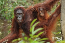 The news for orangutans / by Janet MH