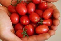 plantar tomatinhos