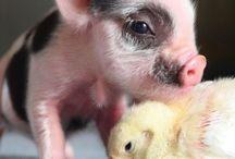 {Yep We've Gone Crazy} / Piggies!!! / by Amanda Battles