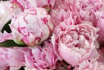 Peonies, Nice / Flowers