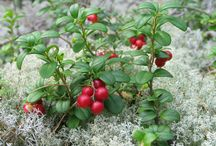 For the love of Lingonberries / All things lingonberries
