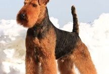 Dog Grooming - Terrier Breeds