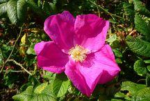 Růžovité (Rosaceae)