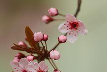 I love Fiori di ciliegio