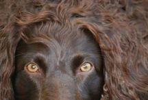 Celebrate the Boykin Spaniel! / Celebrate the Little Brown Dog!