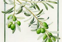 oliveoil tree