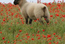 My likes. Animals,especially sheep