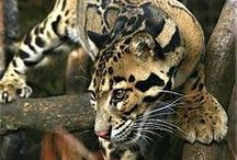 Wildcats / Audubon Zoo in New Orleans  / by Audubon Nature Institute