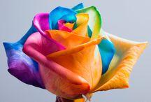 Rosa arco-íris / A rosa arco-íris é uma rosa coloridos artificialmente que explora os processos naturais da flor de desenho de água até a haste. através de dividir o  tronco em partes iguais e mergulhando cada lasca em água com corantes alimentares diferentes as pétalas se tornam multicoloridas. diferente de rosas, flores de corte, tais  como o crisântemo, cravo, hortênsia e algumas espécies de orquídeas são também capazes de ser manipulada desta forma.
