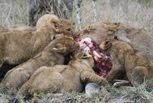 Lions: Breakaway Pride