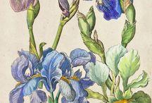 Botanical Irises