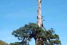 wild 野生の木-plants/bonsai