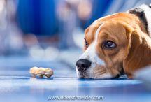 Beagle Love