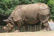 носорог, бегемот, слон