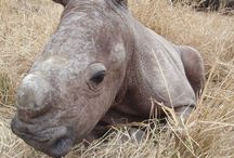 Rhinos - for how long???