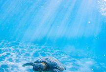 Sea Turtle 海亀