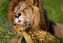 Lion kisses A deer