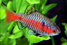 Barbs / A large group of fish, whose ancestors lived in Asia, but Barbs now live in aquariums all over the world. / by AquariumFish.net