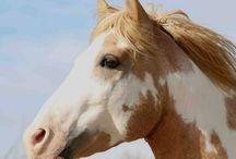 Le Barbe Espagnol / Reconstitué à partir de la sélection d'une trentaine de chevaux, le Barbe Espagnol, qui est très proche du Mustang Espagnol avec lequel il a des ancêtres communs, est une race qui se reconstruit afin de la retrouver comme elle l'était à son arrivée dans son pays d'élevage actuel.
