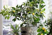fruit trees indoors